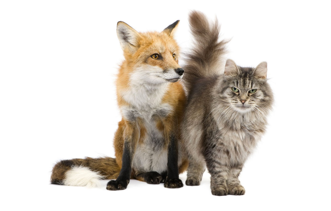 Sad news about a fox attacking a cat