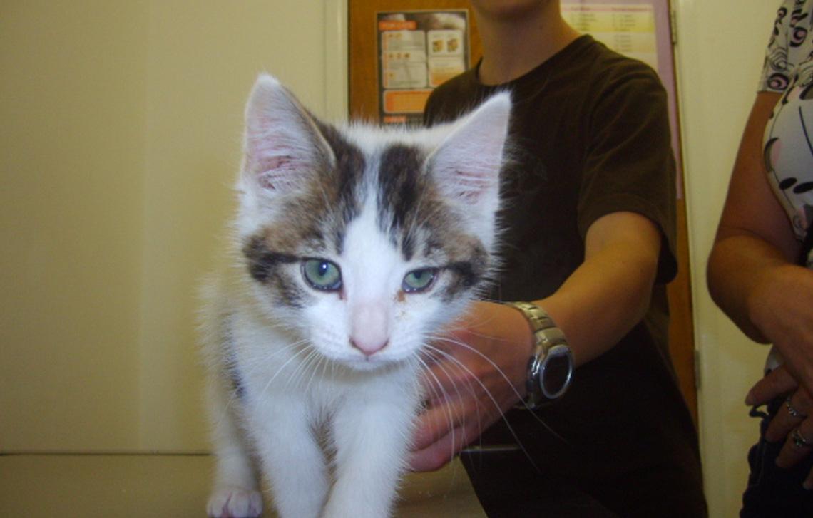 Colin – a very cute white & tabby kitten