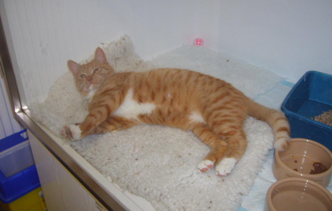 Leo the 6 month old ginger & white tom