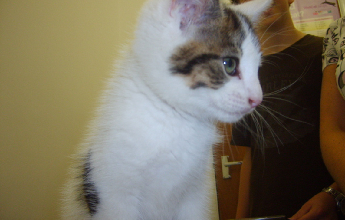 Colin – a very cute white & tabby kitten