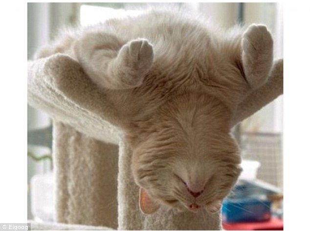 CAT ASLEEP ON CAT TREE