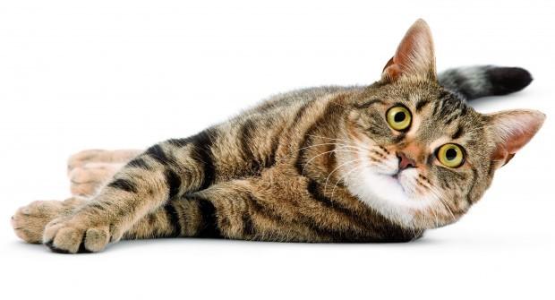 CAT LYING ON SIDE WHITE BACKGROUND