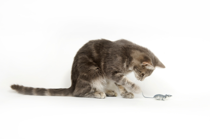A gray cat plays with a toy mouse on white background