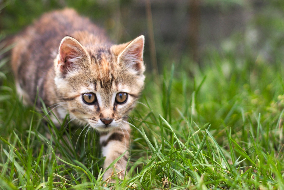 KITTEN HUNTING IN GRASS
