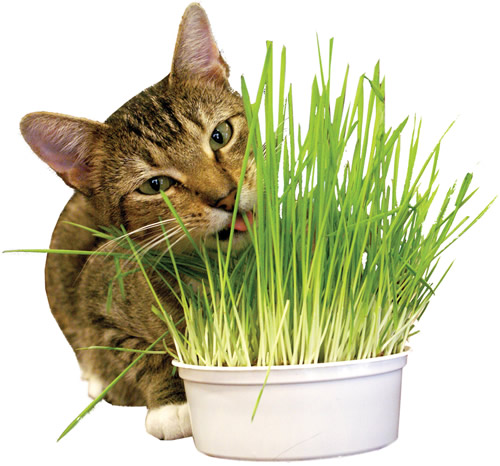 KITTY GRASS