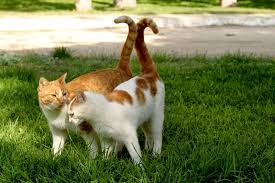 TWO CATS WITH TAILS INTERWINED