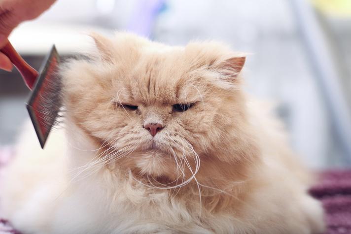 Fat fluffy domestic cat