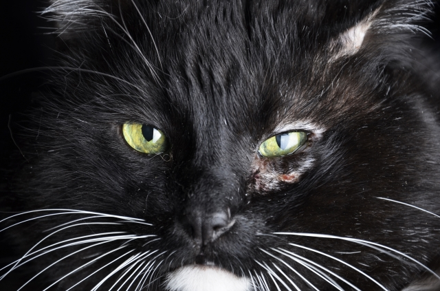 cat-with-injured-eye