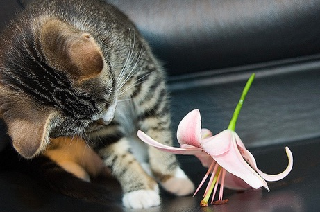 cat-lily