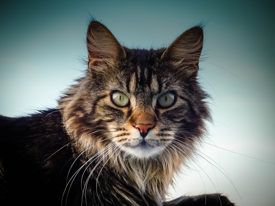 Maine Coon Cat Guide - CWVC Limited