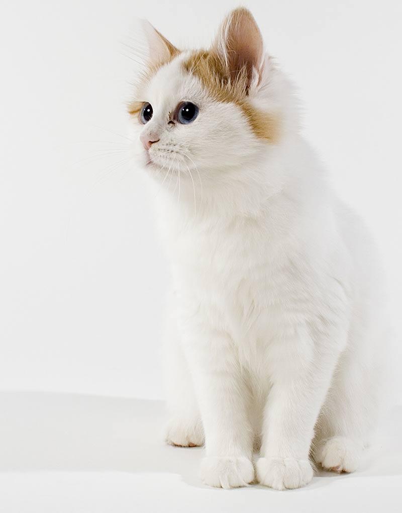 Turkish Van Cat Guide - CWVC Limited