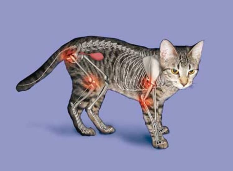 Arthritis in cats