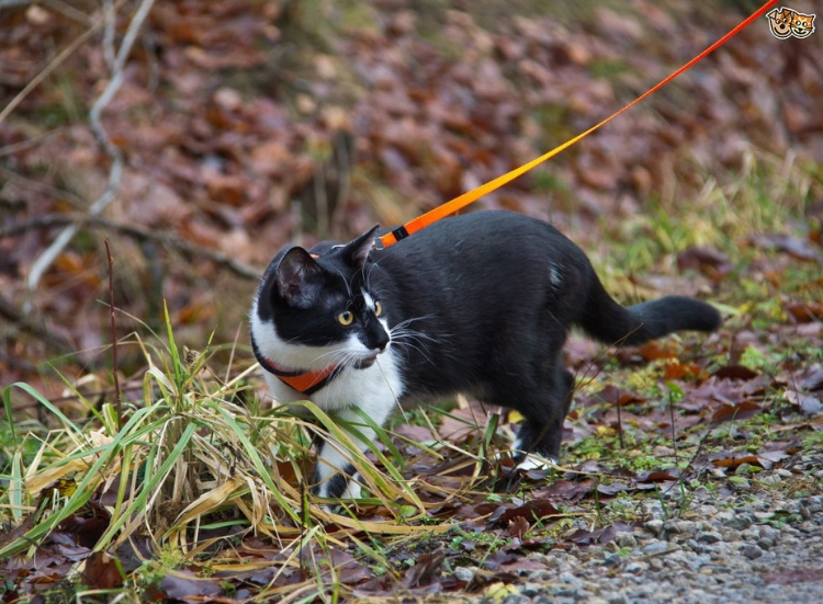 Walking your cat on a lead